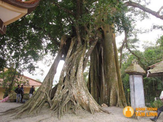 Gốc cây cổ thụ ngàn năm tuổi trong chùa Lân