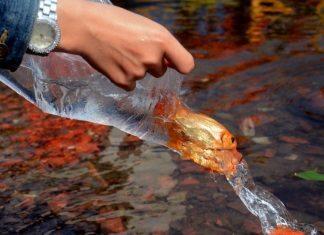 Phóng sinh cá chép tiễn ông Táo về trời