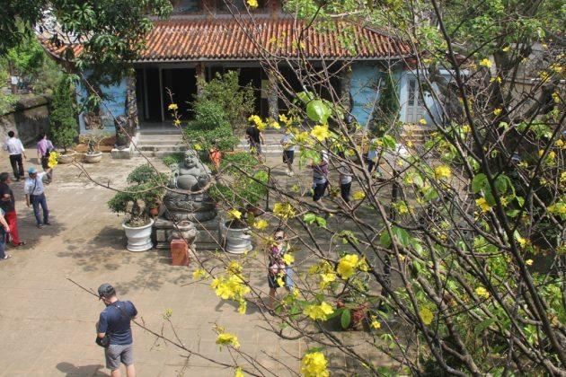 Mai nở tại chùa Tam Thai