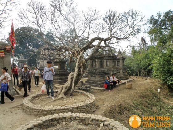 Cây đại sau chùa Hoa Yên