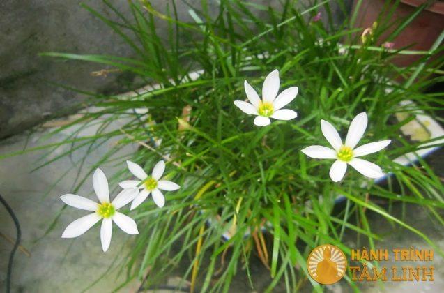Ngải Chúa Xiêm hoa trắng
