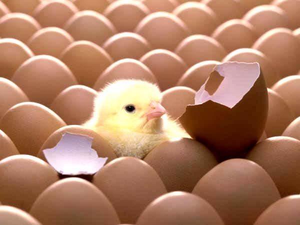 Điều kỳ diệu bên trong vỏ trứng