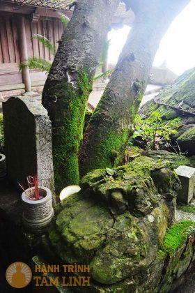 Cây dổi cổ thụ chùa Bảo Sái