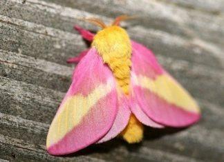 Con bướm màu hồng