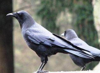 Quạ đen và bồ câu