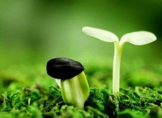 Ước mơ của 2 cây hạt giống